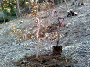 クヌギ、コナラ植えてきました