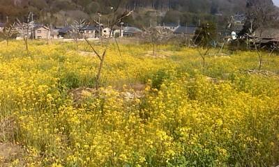 菜の花畑に囲まれて梅の花?