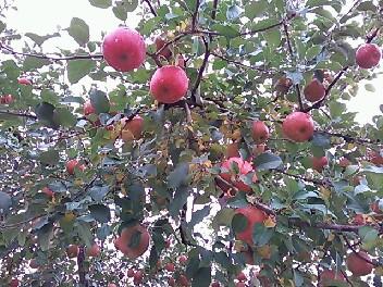有賀りんご園