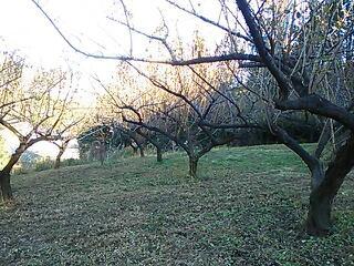 山の梅の木