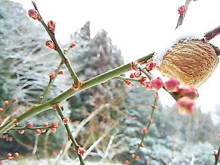 梅と雪とカマキリのたまご