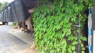 ゴーヤの緑のカーテン