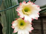 樹齢30年以上のサボテン、一晩だけの美し花を咲かせます。
