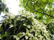 庭のやまぼうしの花